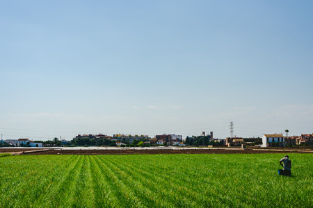 Valencian farmer growing green tigernuts, tuber used to make horchata drink 版權商用圖片