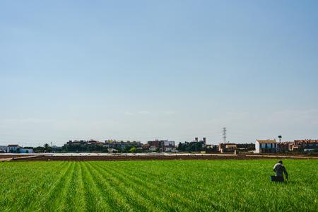 Valencian farmer growing green tigernuts, tuber used to make horchata drink Reklamní fotografie