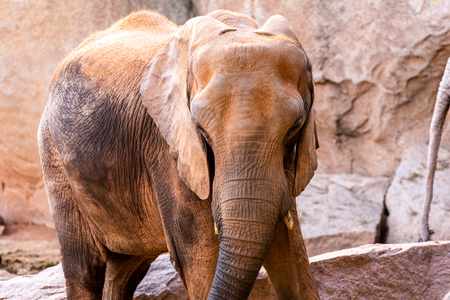 African elephant walking through a zoo and smiling.