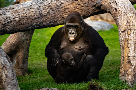 Female western gorilla taking care of a baby Gorilla gorilla gorilla. Archivio Fotografico