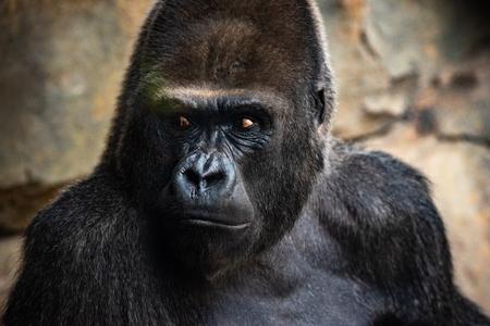 Western male gorilla sitting, Gorilla gorilla gorilla, in a zoo. Foto de archivo