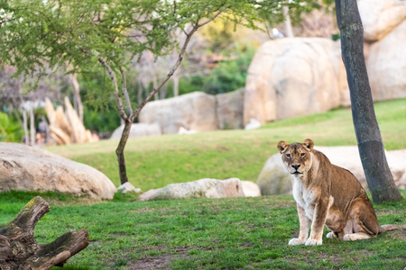 Lioness looking at camera calmly in a zoo. Stock Photo