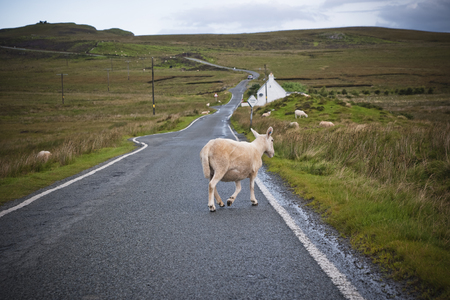 Sheep and cows walking on a road in the north of Scotland. Stockfoto - 116046480