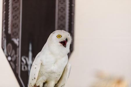 Portrait of a White Owl, Bubo scandiacus, in captivity.