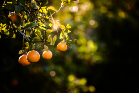 Ripe oranges loaded with vitamins hung from the orange tree in a plantation at sunset with sunbeams in the background in spring.