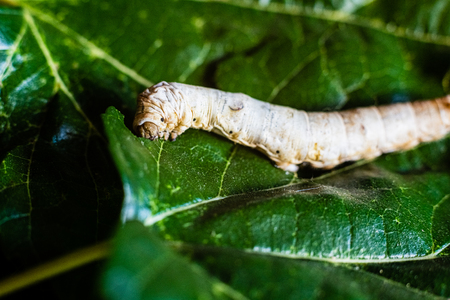 A Bombyx mori alone, silkworm, on green mulberry leaves, the only tree from which it can feed.