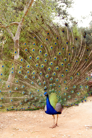 Vertical photo of a colorful peacock with all its tail unfolded showing its long feathers to visitors. Banco de Imagens
