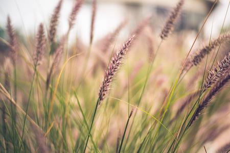 Gambi di Purple Fountain Grass, Pennisetum advena Rubrum, in un'immagine delicata per gli sfondi della natura.