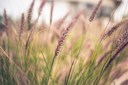 Tiges de Purple Fountain Grass, Pennisetum advena Rubrum, dans une image délicate pour les milieux naturels.