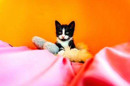Kitten isolating on orange background staring at camera.