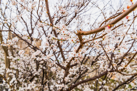 Flowering almond trees during the spring in a Mediterranean city, ideal for a soft background. 写真素材
