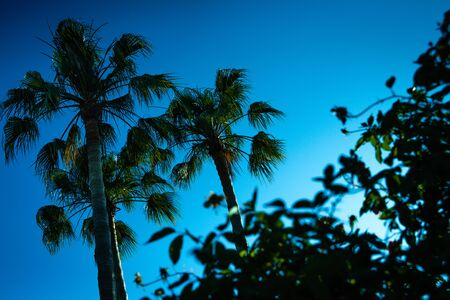 Backlit background of an intense blue sky without clouds with silhouettes of palm trees and cactus in a tropical setting.