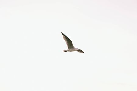 Seagull flying isolate on white background.