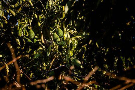 Avocado tree with many fruits. Stock Photo