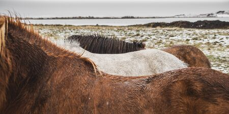 Horses of Icelandic race in a snowy enclosure, environmentalists try to preserve the purity of the species. 写真素材