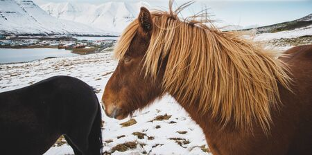 Portraits of Icelandic race horses on a snowy mountain, protected purebred animals.