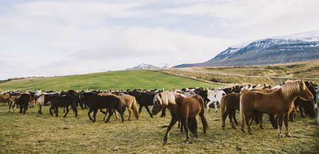 Herd of precious Icelandic horses gathered in a farm.