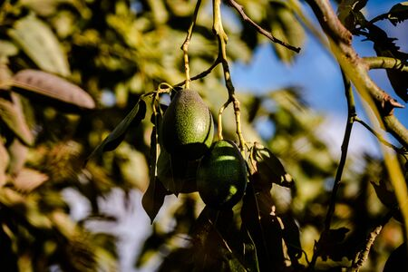 Avocados cuke seedless, Persea americana, on the tree, before they are ripe and ready for harvesting.