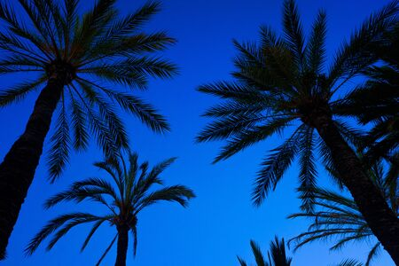 Blue sky background with the silhouette of some tropical palm trees at sunset seen from below. Imagens