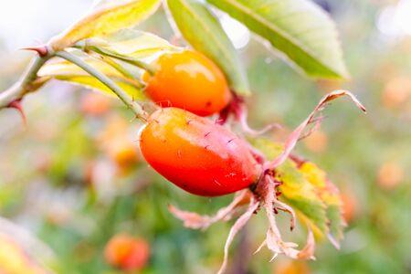 Close-up of wild rosehip fruit, rich in vitamin c.