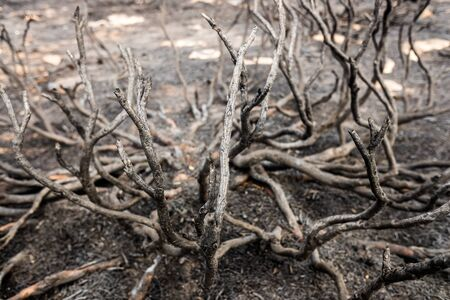 Ashes and remains of an undergrowth burned by a fire.