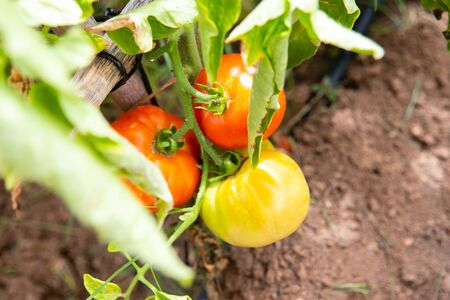 Vegetable garden with tomatoes ripening in the sun, red, loaded with vitamins and lycopene.
