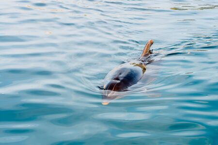 Dolphin on the surface to breathe approaches the coast to greet tourists. Banco de Imagens