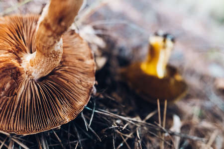 Detail of small mushrooms found in a Mediterranean forest in autumn, out of focus background with narrow depth of field. Stock fotó