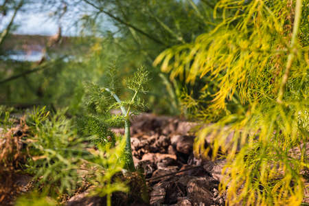 Fennel plantation, Foeniculum vulgare, with its bulbous seeds and roots, typical of Mediterranean cuisine.