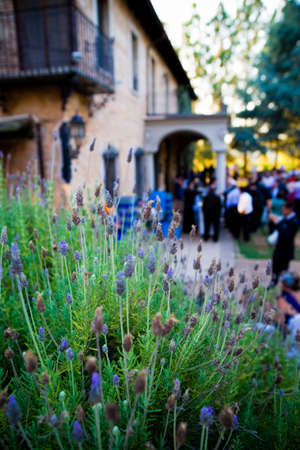 Blooming lavenders in the foreground, decorating a wedding celebration with many guests out of focus in the background. Banque d'images