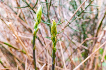 Edible wild green asparagus, spring buds. Banque d'images