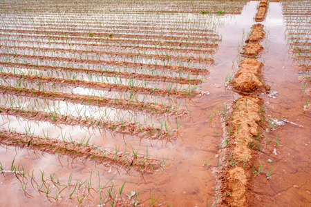 Flood irrigation of a vegetable plantation wasting water. Banque d'images