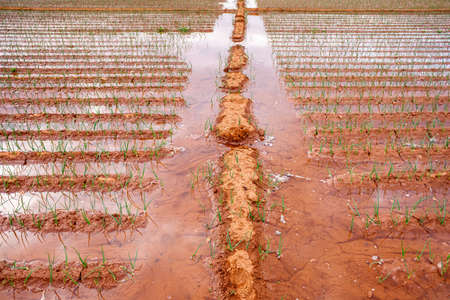 Planting of young onions in a garden in the Mediterranean, watered with fresh water. Banque d'images