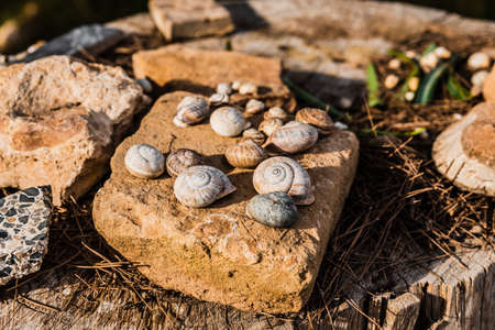 Shell of empty land snails collected to use as decoration on rocks and wood in a garden. 免版税图像