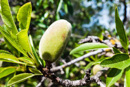 Fruit of the almond tree still green with its shell, at the end of winter.