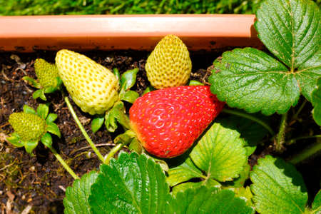 Growing on a terrace of sustainable fruits, red strawberries ripening in the spring sun.