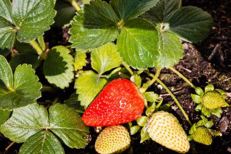 Strawberries grown in a pot in an urban garden, half ripe.