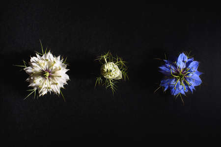 Delicate flowers viewed from above in flat lay isolated on black background.