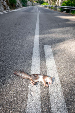 Dead squirrel on the asphalt of a mountain road after being run over. 免版税图像