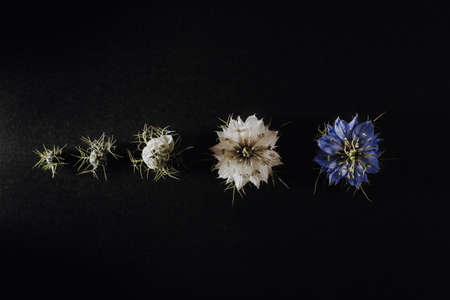 Progression of a flower in phases and stages from its bud to its open flower opening with the petals, isolated on black background 免版税图像