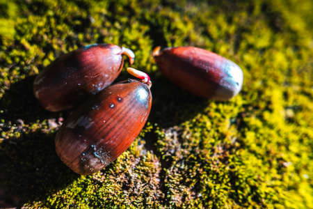 Acorns on the mossy ground of a forest, with sprouts during their germination