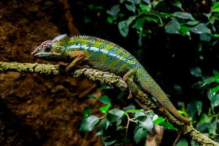 A chameleon, Furcifer pardalis, rests on a branch at sunset.