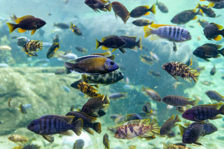 Many tropical fish swimming in a dirty aquarium with murky water.