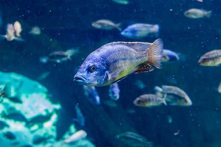 Detail of an aquarium fish submerged in transparent water 免版税图像