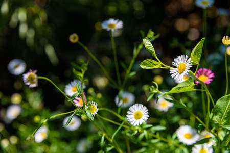 Fresh wild chamomile flowers with a dark background during spring, giving a scent to the countryside.