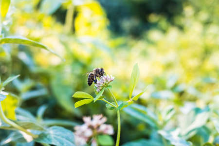 Bees are in danger of extinction from pesticides and monocultures, they are necessary to pollinate plants. 免版税图像