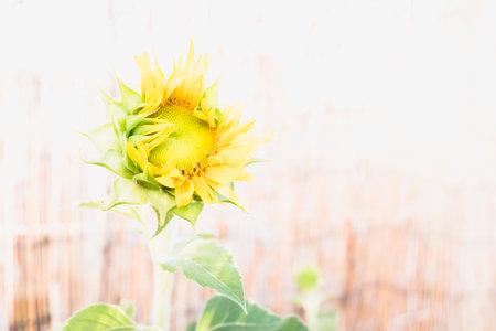 A garden dwarf sunflower with a diaphanous background 免版税图像