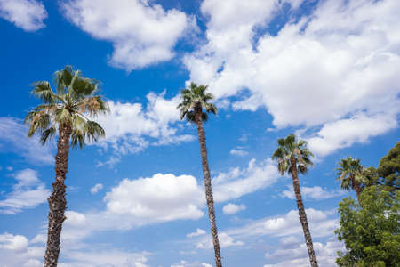 Tropical palm trees in the background of a blue sky with summery white clouds.