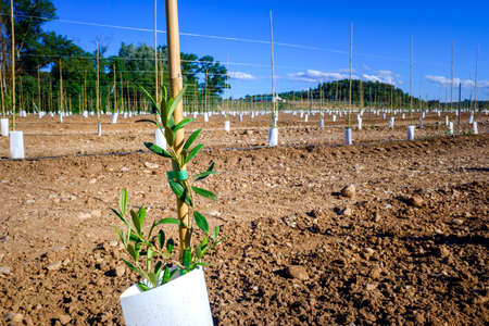 New planting of fruit trees with innovative drip irrigation systems on fertile lands.