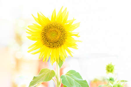 Bright and luminous sunflower plant in vibrant colors, with white soft defocused background.